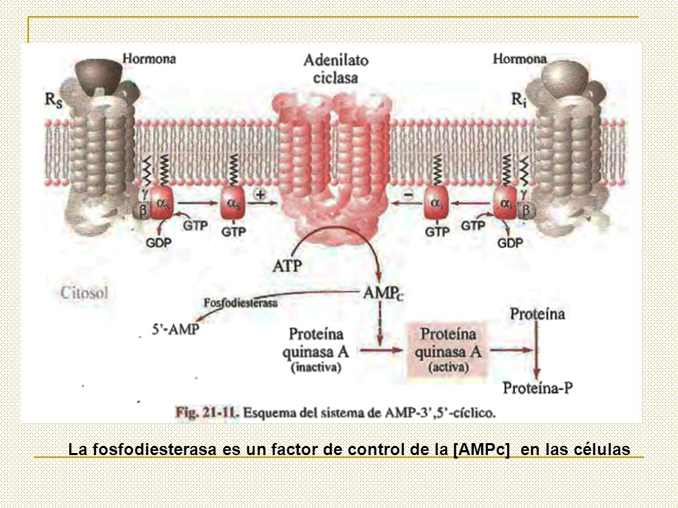 La fosfodiesterasa es un factor de control de la [AMPc] en las células